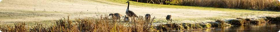 Ducks Wildlife Silvermere