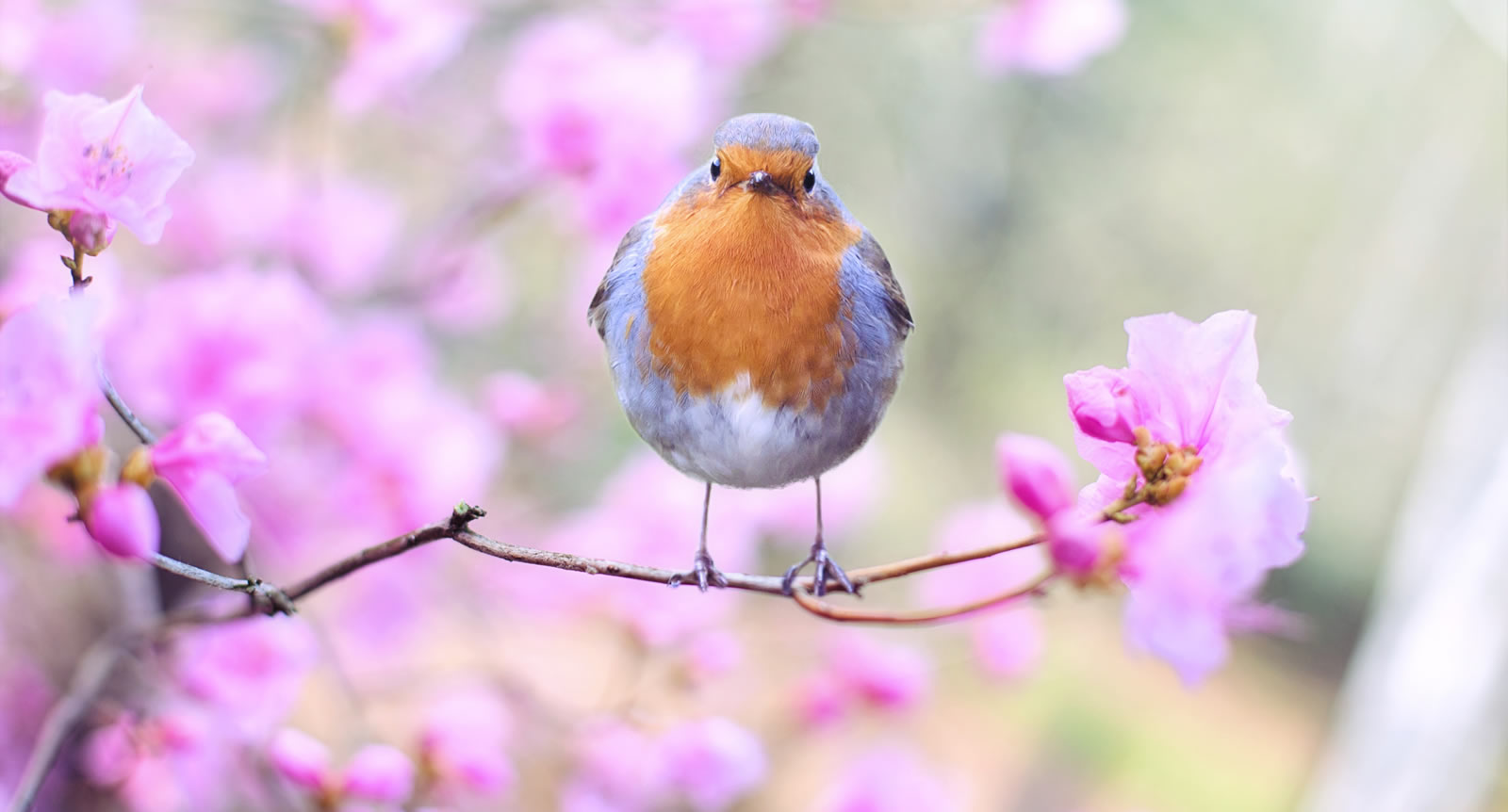 North West Surrey RSPB Robin