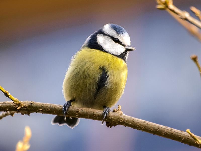 North West Surrey RSPB Blue Tit