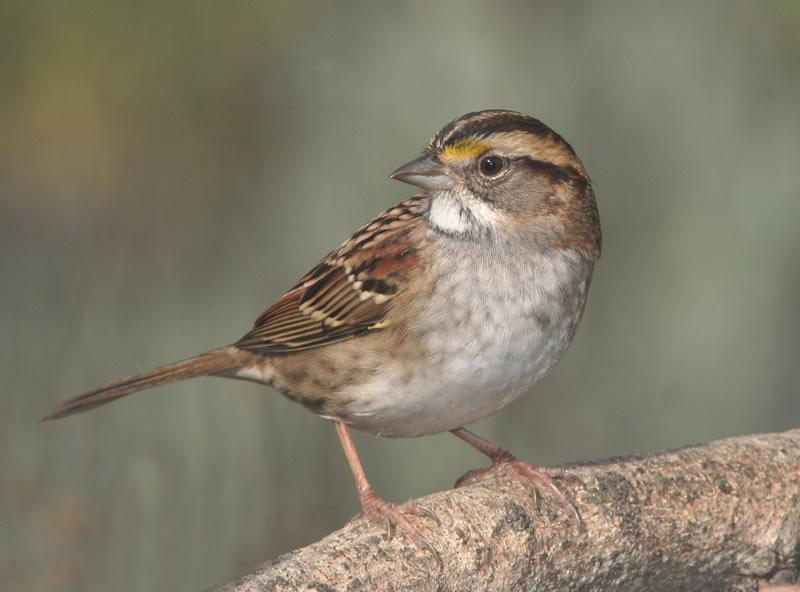 Sparrow RSPB North West Surrey