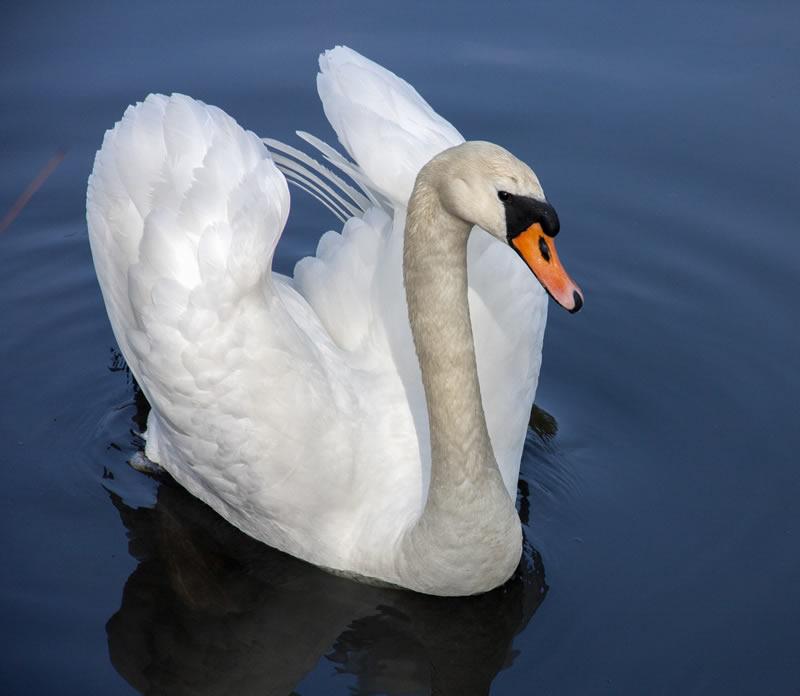 Swan RSPB